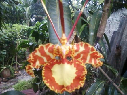 La orquídea mariposa de Fomento.