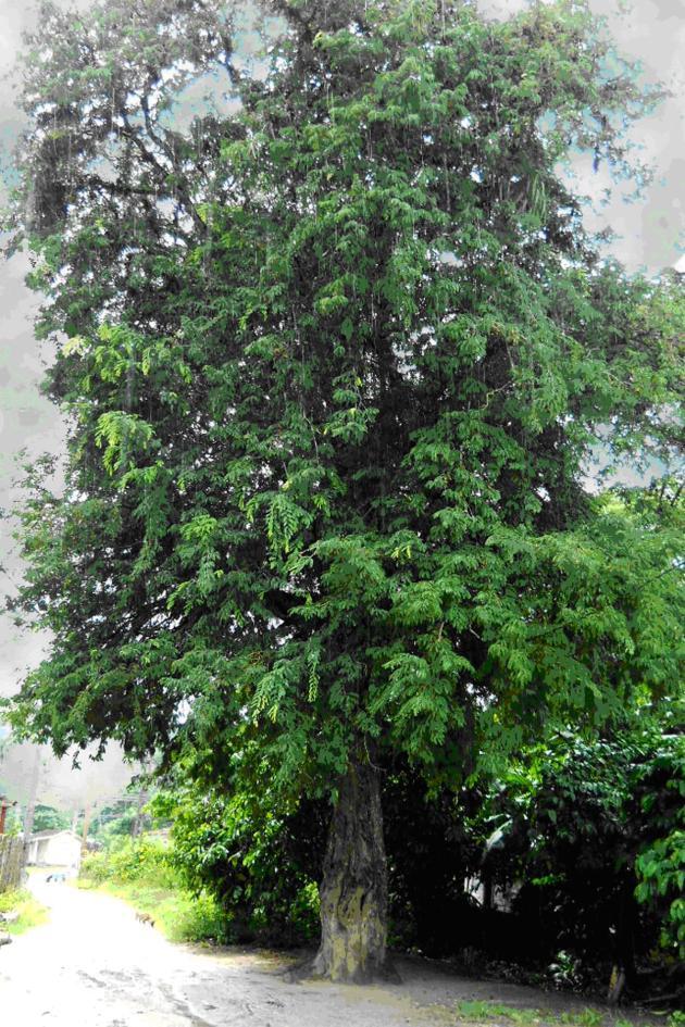 En el centro de El Pedrero permanece el árbol que dio nombre al boletín El Tamarindo.