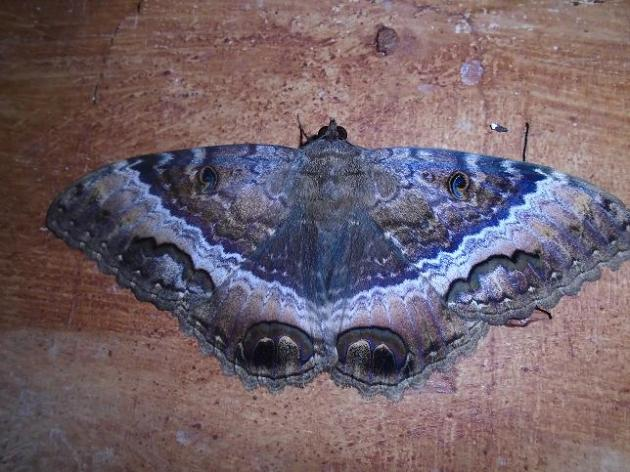 mariposa nocturna fomento cuba